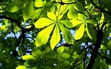 七叶树适合在哪里种植?七叶树育苗与栽培技术