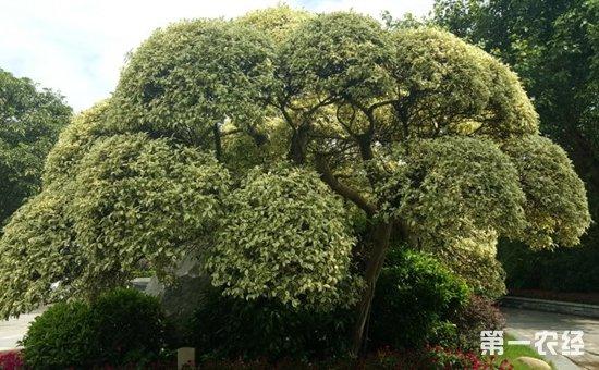 榕树有多少品种?榕树种类名称及图片