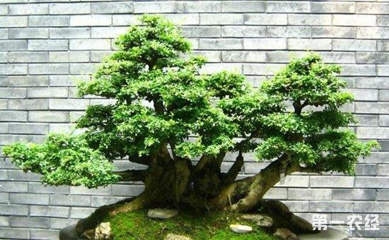 榕树盆景如何造型?榕树盆景怎么修剪?