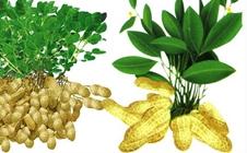 怎么种出高产花生?高产花生种植技术