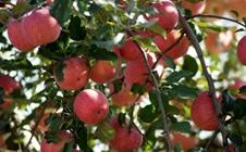 """苹果树""""生病""""了怎么办?苹果花脸、花叶病病毒药"""
