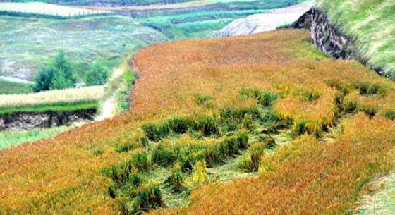 青海:持续不断的阴雨天气影响收割 东部农业区秋收受阻出现倒伏