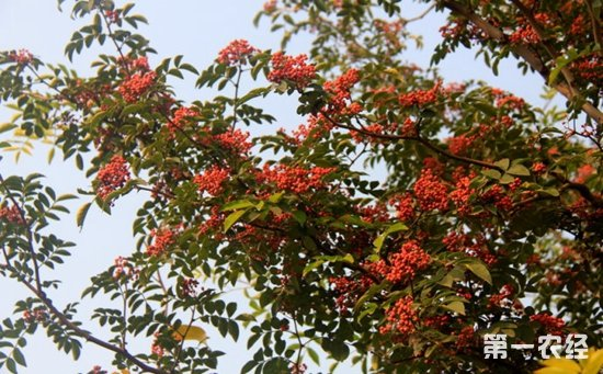 花椒树种植