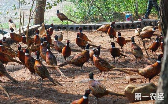 中国野鸡品种大全及图片