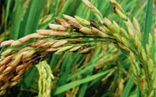 水稻褐变穗危害大!水稻褐变穗发生原因及防治措施