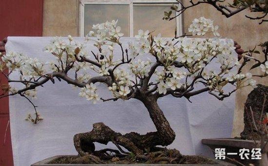 梨树盆栽与盆景图片欣赏