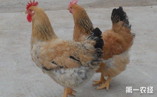 k9肉鸡是什么鸡?k9麻黄鸡介绍