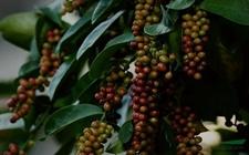 五味子价格:五味子种子价格和树苗价格