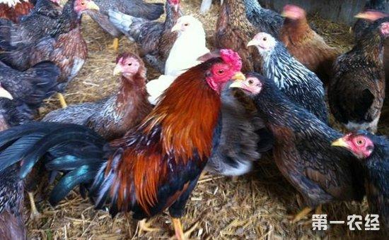 云南名鸡品种——大围山微型鸡