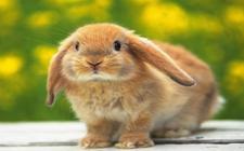 如何训练饲养荷兰垂耳兔?