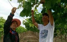 李淑萍:带领村民种植葡萄 圆了乡亲的致富梦
