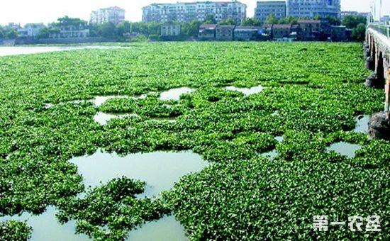 水葫芦在我国泛滥成灾 致年损过亿