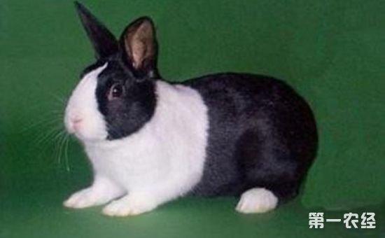 但是怎么看出来兔子生病了呢?英国斑点兔有什么样的病症呢?