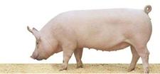 生长速度最快的猪是什么猪?什么品种的猪长得快?