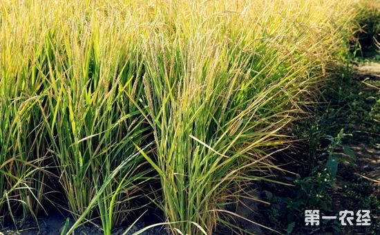 新疆石河子:旱地里长出香甜大米