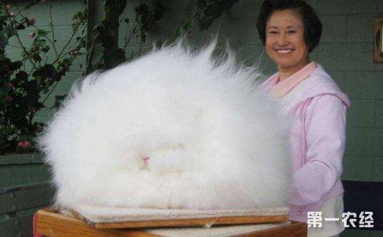 英国安哥拉兔是一种大型兔,体重可达2.2-3.4公斤。以前人们养它主要作为育毛用,现在则逐渐转向宠物的方向来饲养。英国安哥拉兔长有柔软细腻又很长的毛发,常常的兔毛将它的眼睛,耳朵等覆盖住,所以看起来像一颗毛球一样,十分可爱,这也是众多玩家选择它的原因。以上内容由第一农经网小编为您整理,希望对您有所帮助。