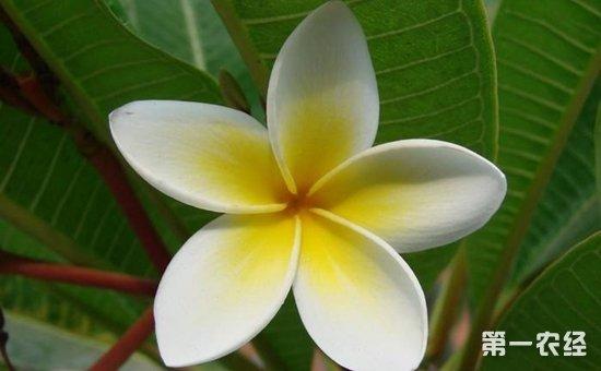 素馨花是鸡蛋花吗 素罄花与素馨花的区别