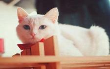 猫胃炎吃什么药?猫胃炎症状与治疗方法