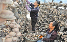 殷啟民:回乡创业种香菇 带着村民一起富裕