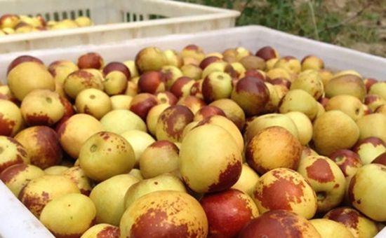 <b>湖北武汉:枣类迎来上市期 品种繁多</b>