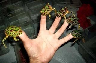 【角蛙饲养专题】角蛙怎么养|角蛙吃什么|角蛙寿命