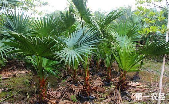 蒲葵就是棕榈吗?蒲葵与棕榈的区别方法