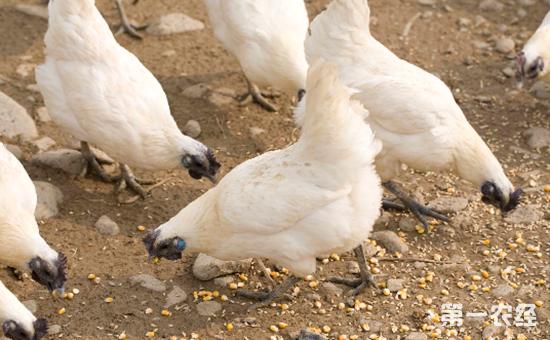 乌鸡是不是特种养殖?乌鸡养殖前景与效益分析