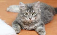 猫下泌尿道疾病的诊断与治疗