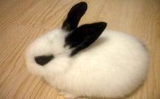 兔子耳朵突然变黑是怎么回事?是基因问题还是生病了?