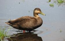 鸭饲料中添加抗菌药物方法与注意事项