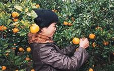 罗海云成沙糖桔达人 带头发展水果种植业