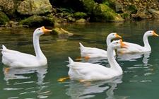 如何养好早春鹅?早春鹅的饲养管理