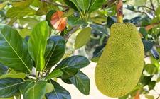 木菠萝就是菠萝蜜吗?木菠萝和榴莲的区别