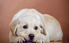 <b>泰迪狗低血糖怎么办?狗低血糖症状与治疗</b>