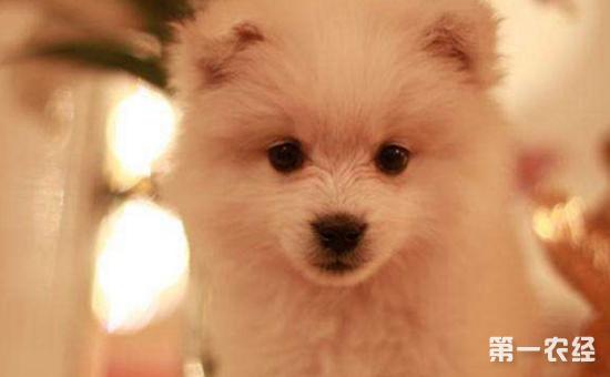 银狐犬怎么养才好?银狐犬的饲养方法和训练方法介绍
