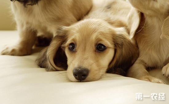 狗狗发烧怎么办?狗狗发烧的症状原因和注意事项