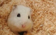 仓鼠中暑该怎么办?仓鼠中暑的治疗方法介绍