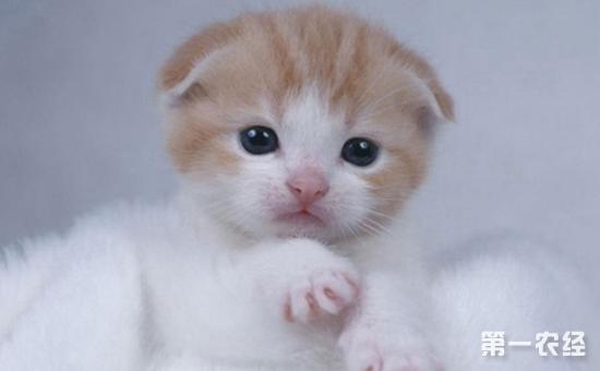 苏格兰折耳猫怎么养?苏格兰折耳猫的饲养要点介绍!