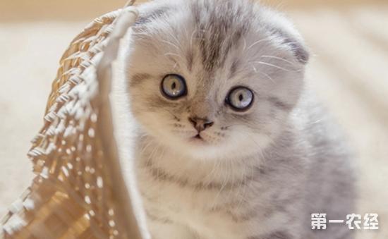 苏格兰折耳猫怎么养 苏格兰折耳猫的饲养要点介绍