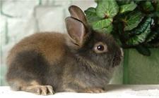 美国黄褐色家兔的体型特征和饲养手册