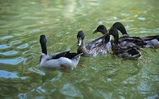 鸭大舌头病的原因有哪些?鸭大舌头病怎样治疗?