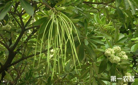 盆架树就是灯台树吗?盆架树和糖胶树的区别
