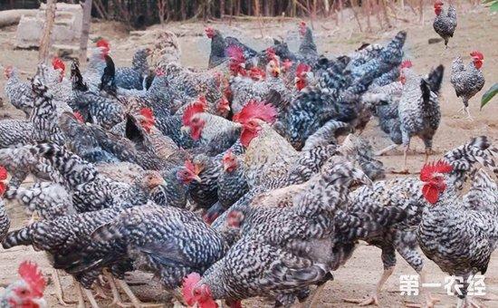 芦花斑鸡:多元杂交培育而成的虫子鸡