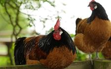 公母鸡为什么要分群饲养?公母鸡分群饲养的原因和好处
