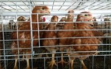 <b>育成鸡的生理特点和饲养管理</b>