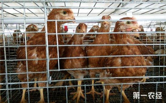 育成鸡的生理特点和饲养管理
