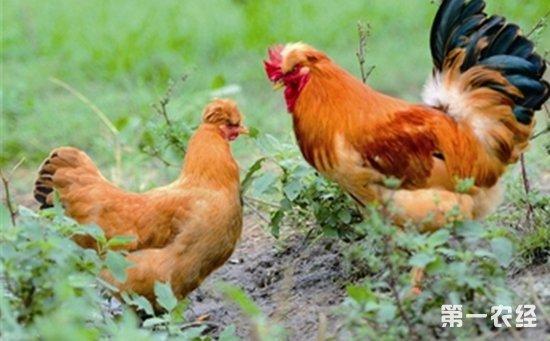 北京油鸡养殖要考虑哪些因素?