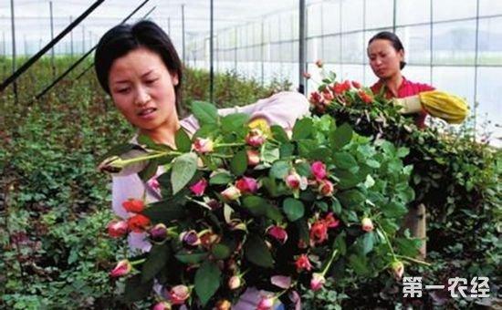 昆明晋宁:上半年农业总产值达18亿元 都是鲜花的功劳