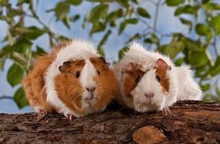 【豚鼠专题】豚鼠饲养方法|豚鼠吃什么|豚鼠生病了怎么办