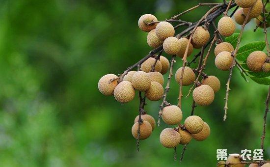 龙眼种植几年结果?南方龙眼成熟的季节是几月?